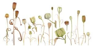 Fritillaria Capsules