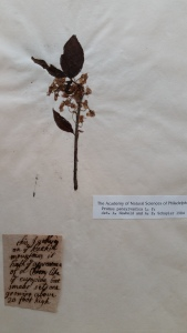 Prunus pensylvanicus from the Lord Petre Herbarium at Sutro Library in San Francisco