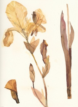 iris-albicans-sm