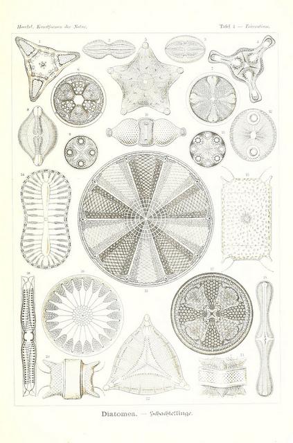 haeckel-diatom