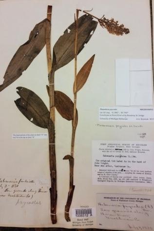 4 Platanthera psycodes