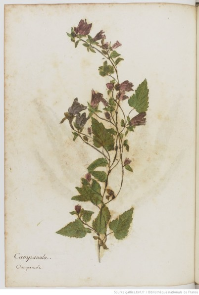 Print of Campanula by Zenobe Pacini in the Bibliotheque Nationale de France
