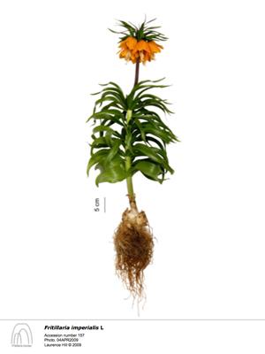 3 Fritillaria imperialis