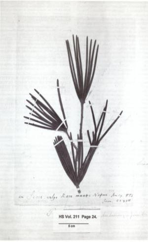 2 Sciadopitys verticillata