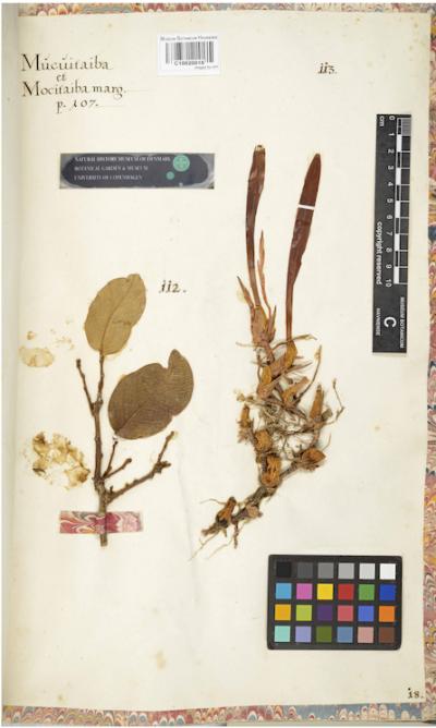 Trigonidium acuminatum specimen in the Marcgraf Herbarium at the University of Copenhagen Herbarium.