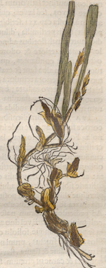 Illustration of Trigonidium acuminatum from Historia Naturalis Brasiliae 1648, Biodiversity Heritage Library.