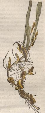Illustration of Trigonidium acuminatum from Historia Naturalis Brasiliae 1648, Biodiversity Heritage Library.