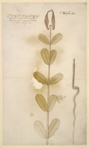 3 White Milkweed