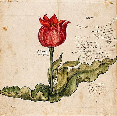 1 Gessner Tulip