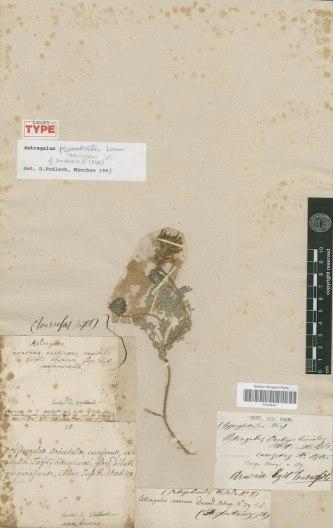 4 Astragalus psoraloides