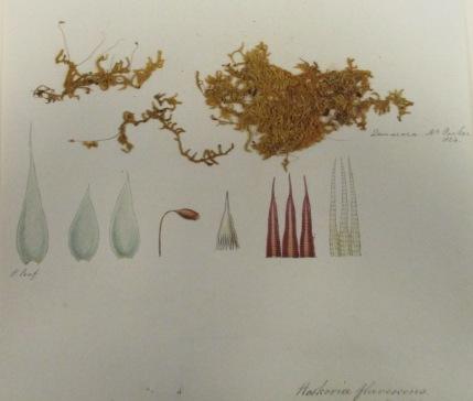 2a Hookeria flavenscens