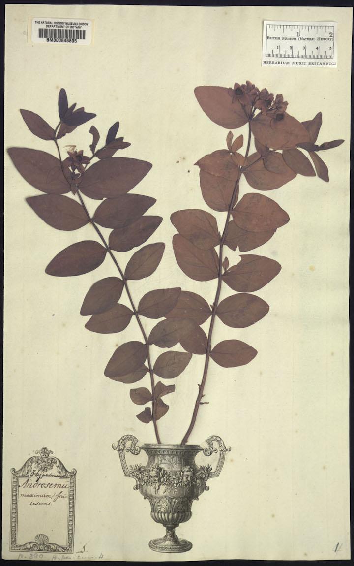3 Clifford Hypericum androsaemum