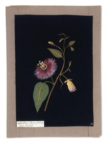 2a Passiflora laurifolia