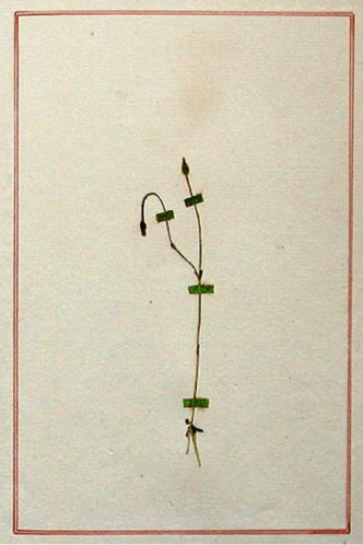 4 Rousseau Gentiana filiformis