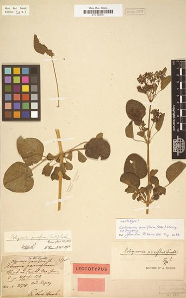 1 Abronia parviflora