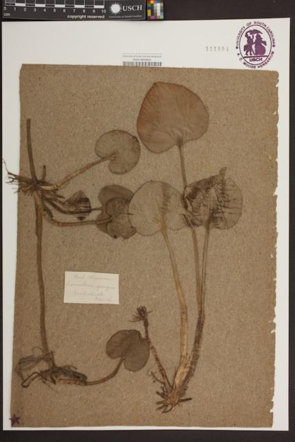 3 Limnobium spongia copy
